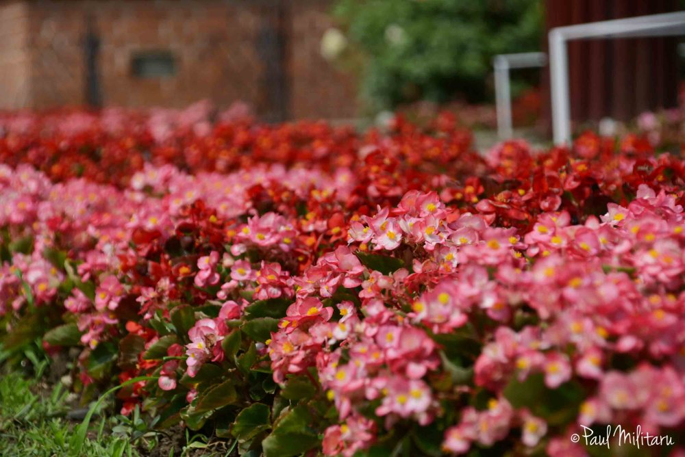 red ornamental flowers