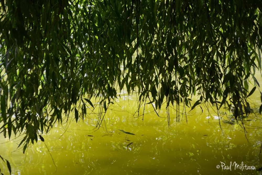 the shadow of the shallow willow