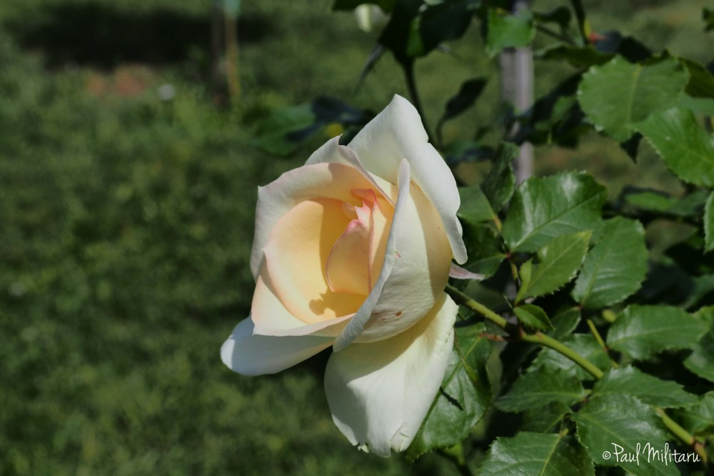 white yellow rose