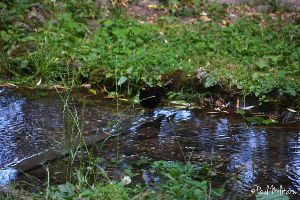 blackbird, water and grass