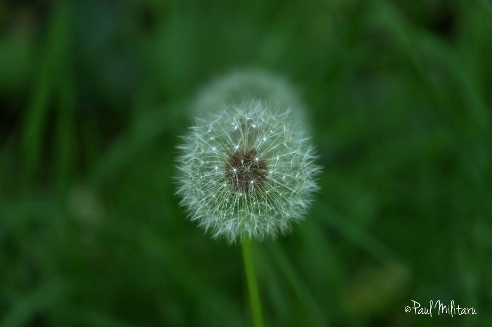 dandelion in perspective