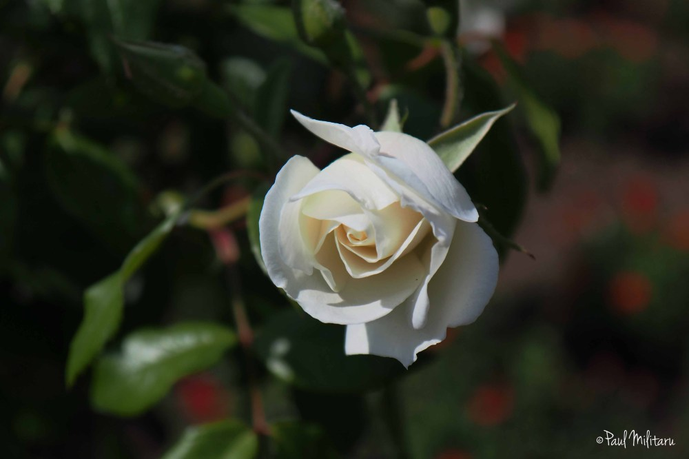 purity of a white rose