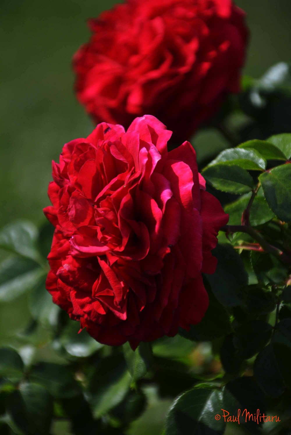 red romantic roses