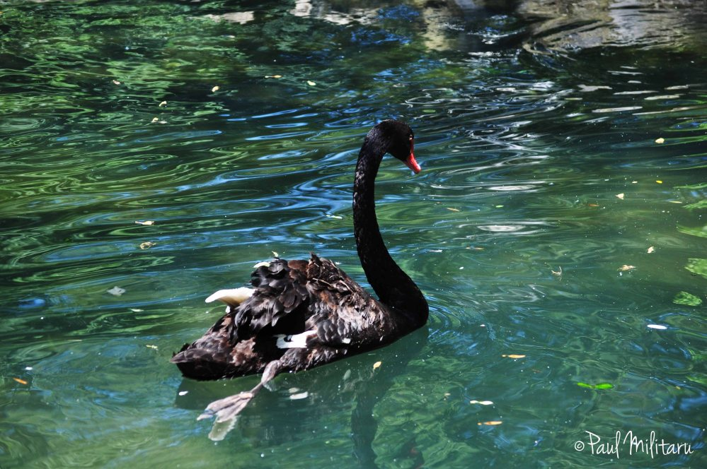 lady of the lake - black swan