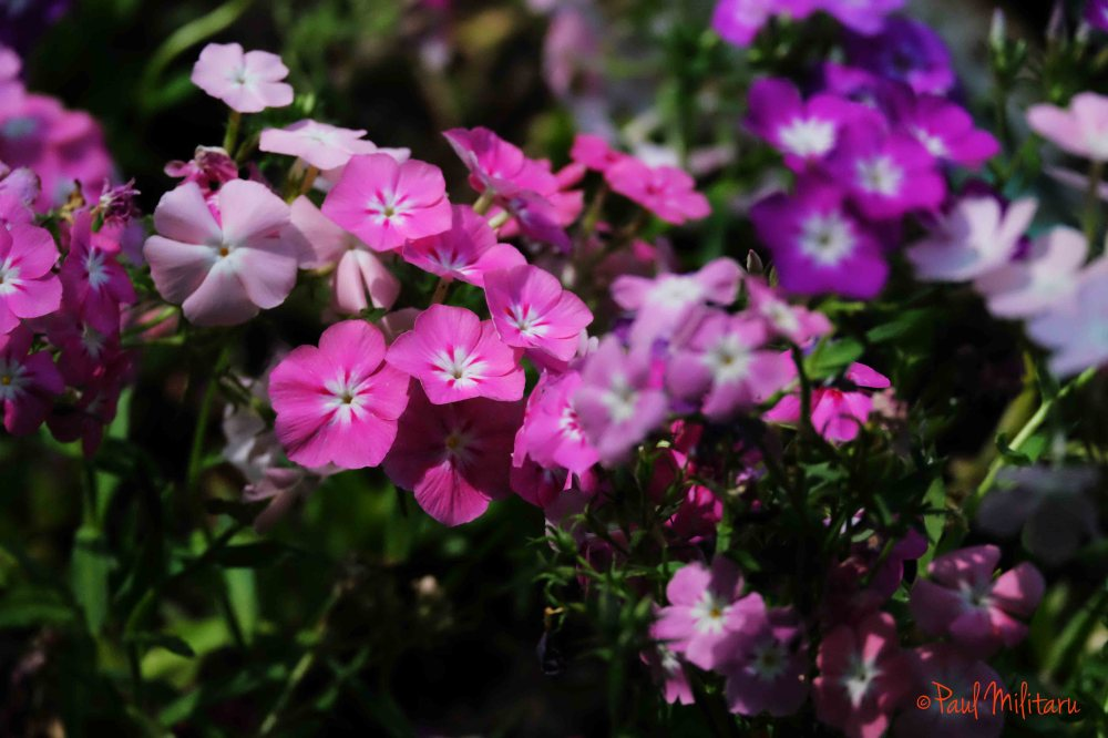 ornamental pink flowers