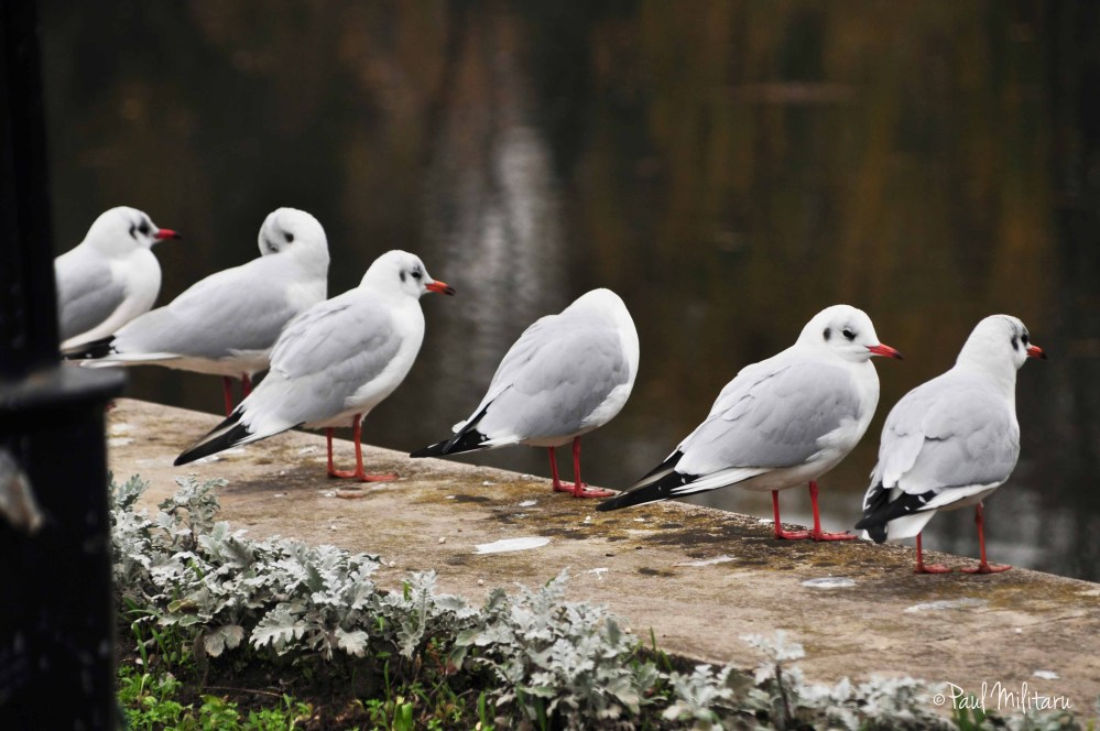 rebellious seagulls choir