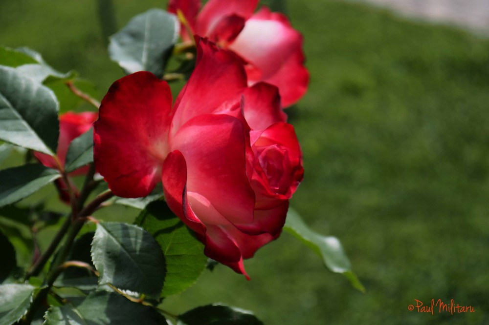 rose red passion
