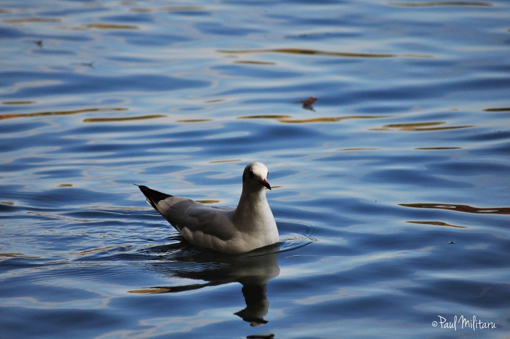 seagull floating on the water