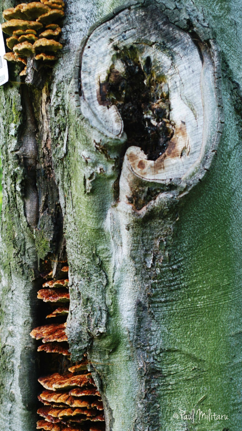 the ear of an old tree