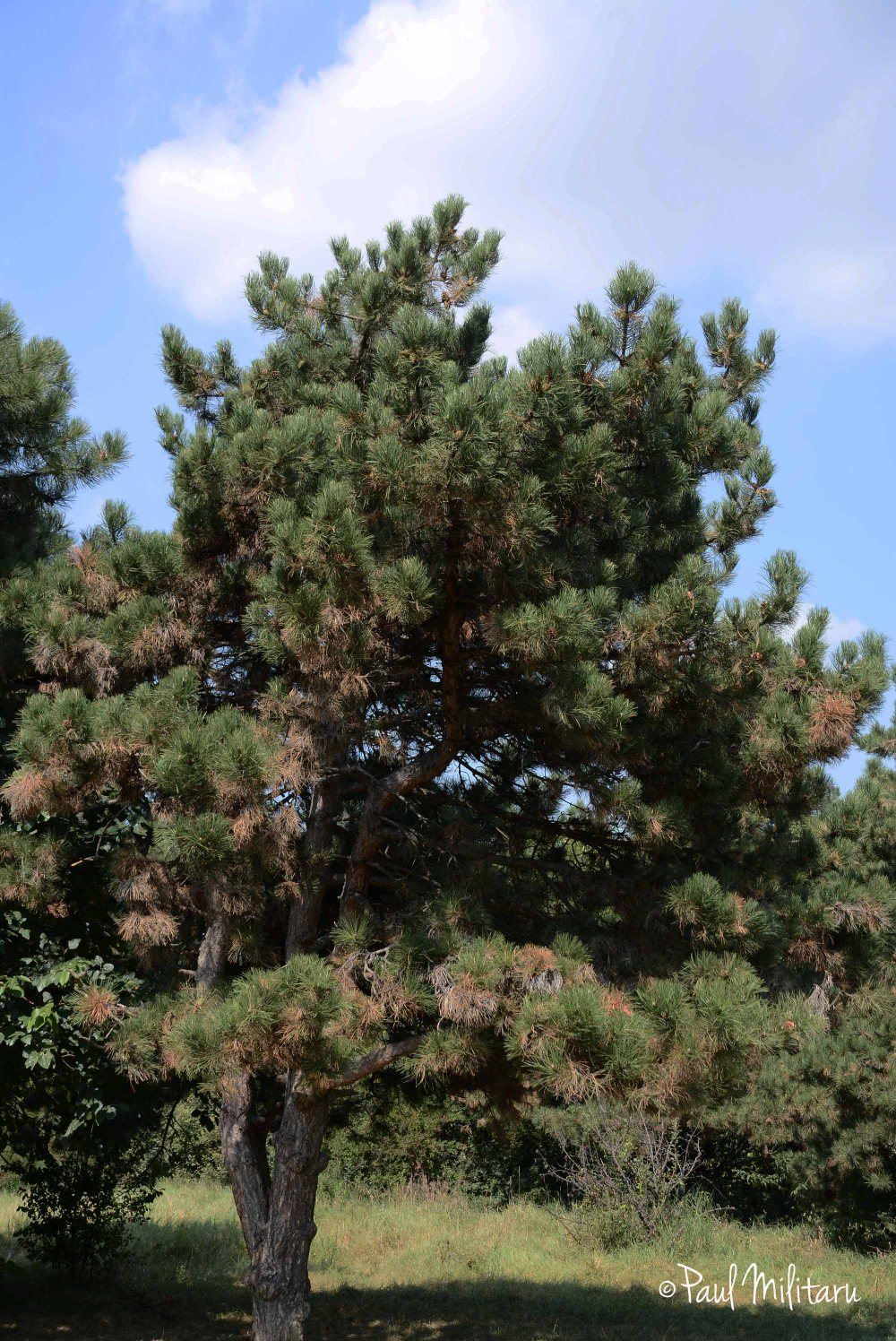 a kind of pine