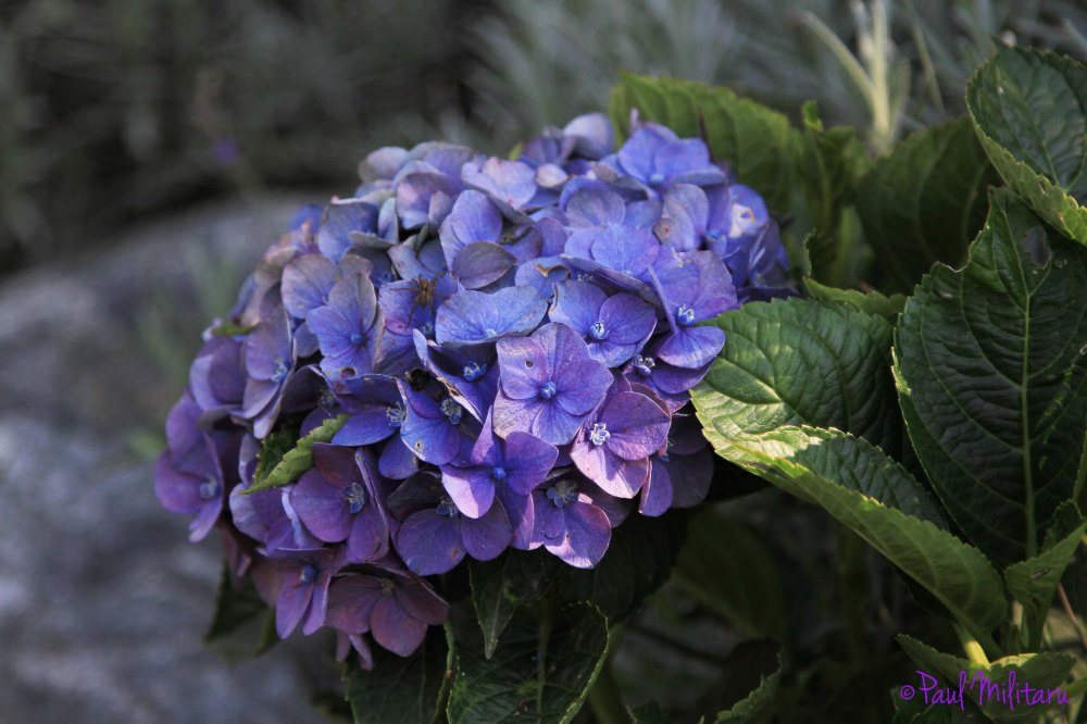 hydrangea - blue to purple