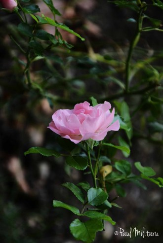 Late Wild Roses 1