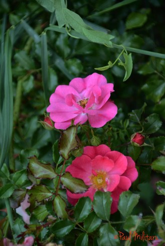 Late Wild Roses 2