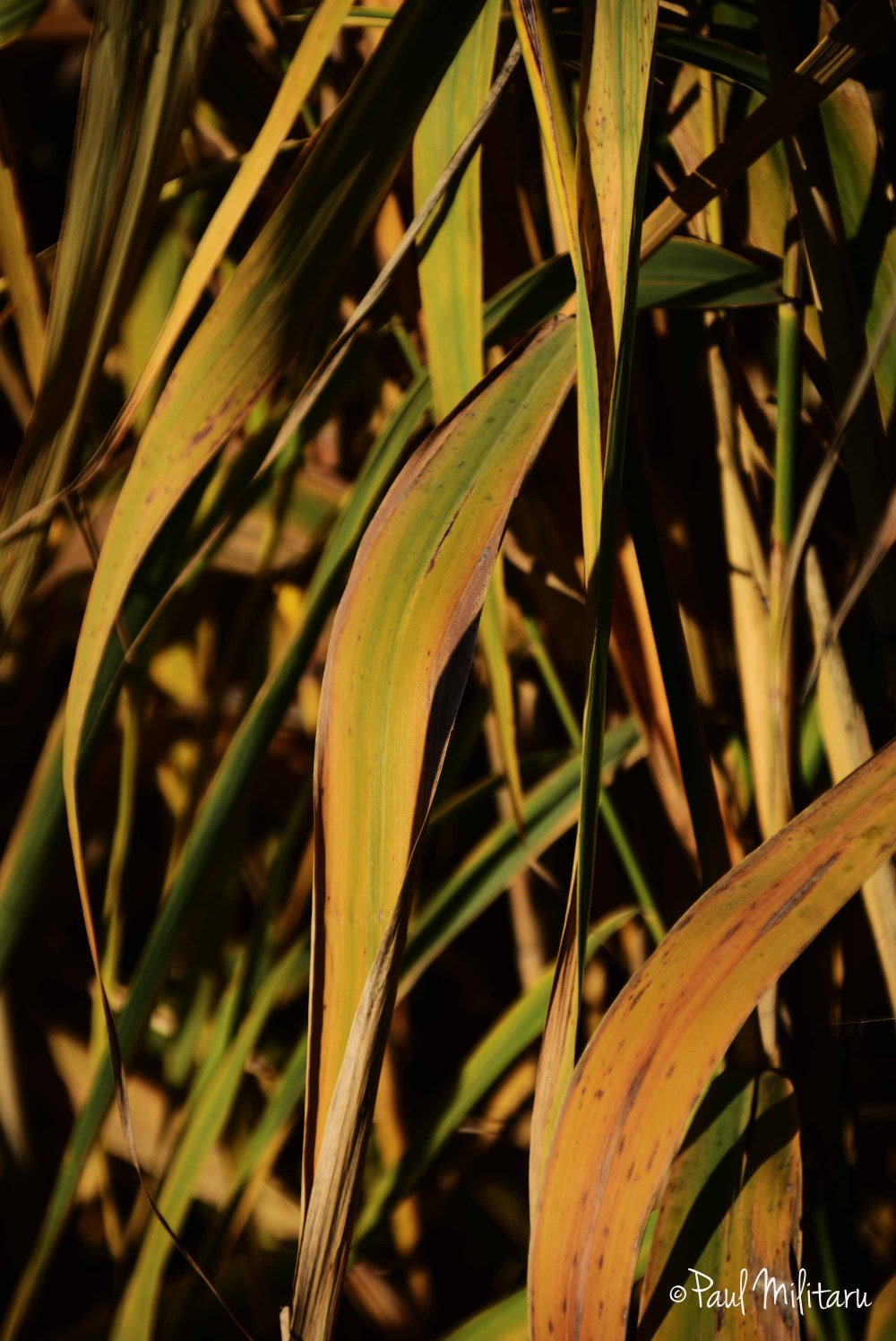 reed leaves