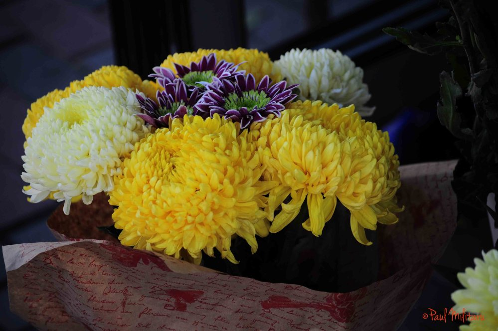chrysanthemums at the flower shop