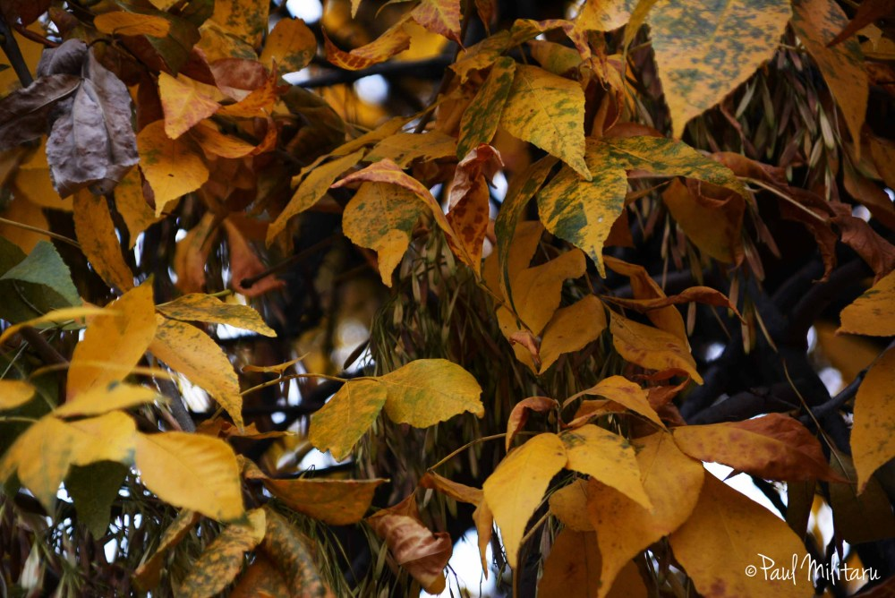 dark yellow leaves