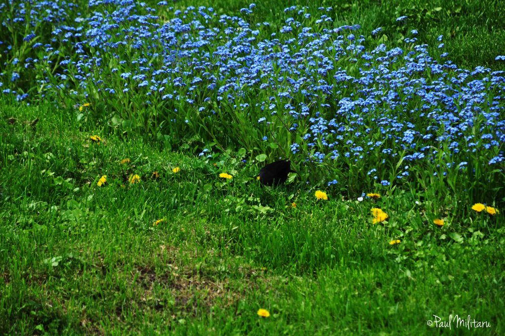 forget me not and a blackbird