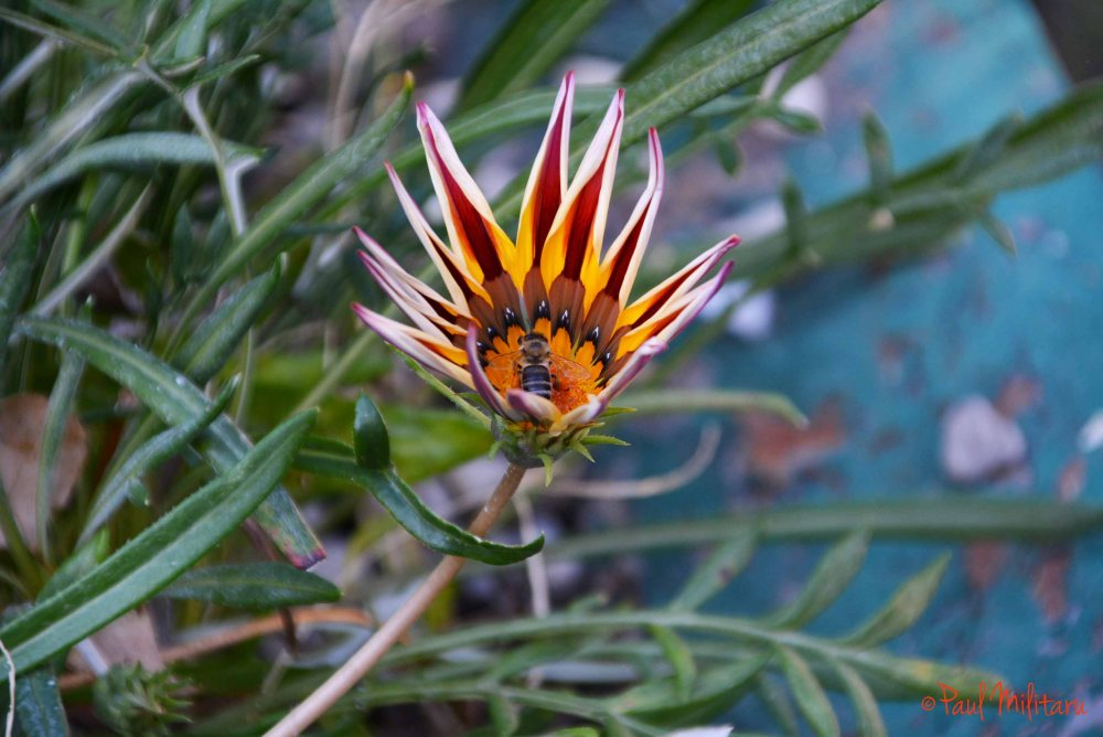 gazania and a little bee