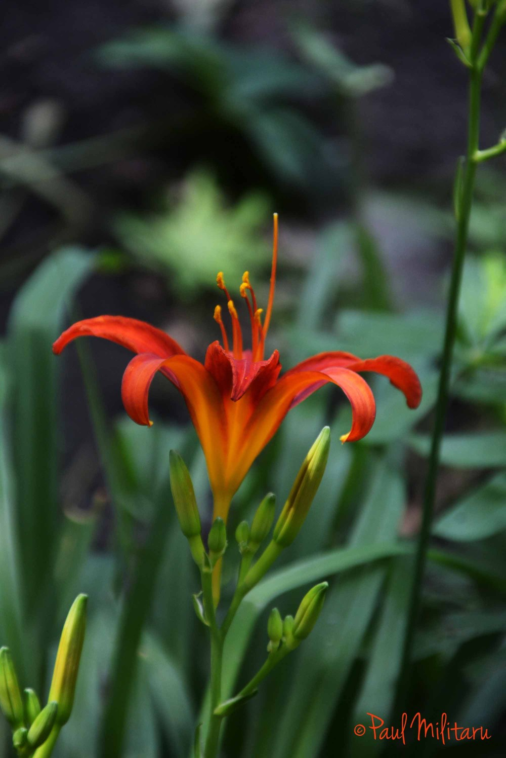 imperial red lily