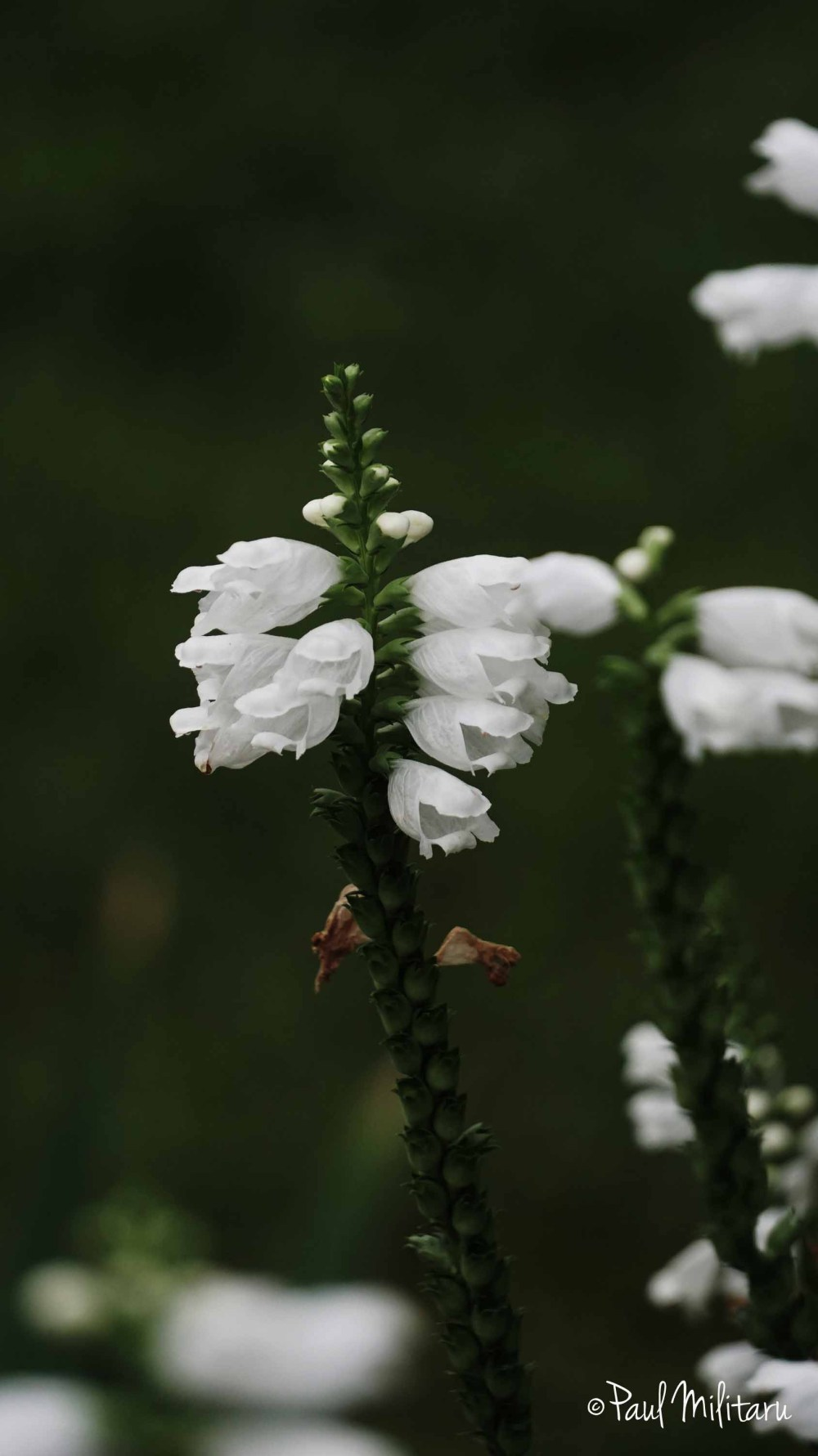 ornamental white flowers