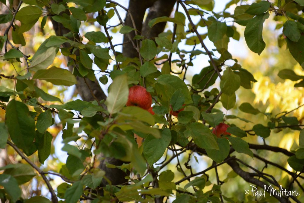 red apples in October