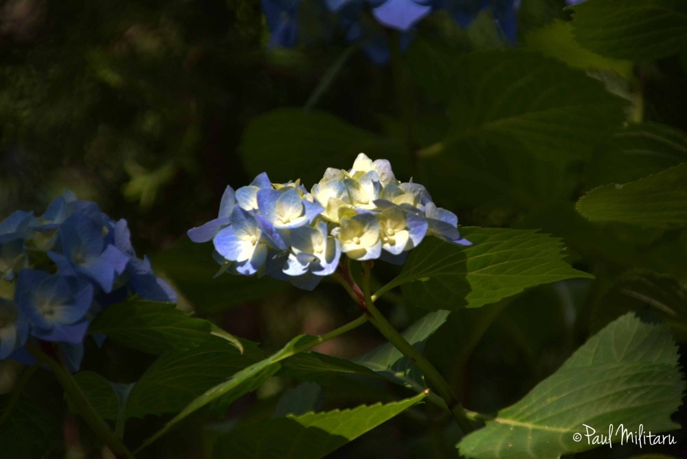 blue-yellow hydrangea in the sun