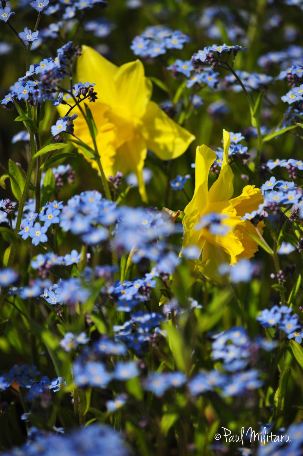 daffodils in a sea of flowers forget me not