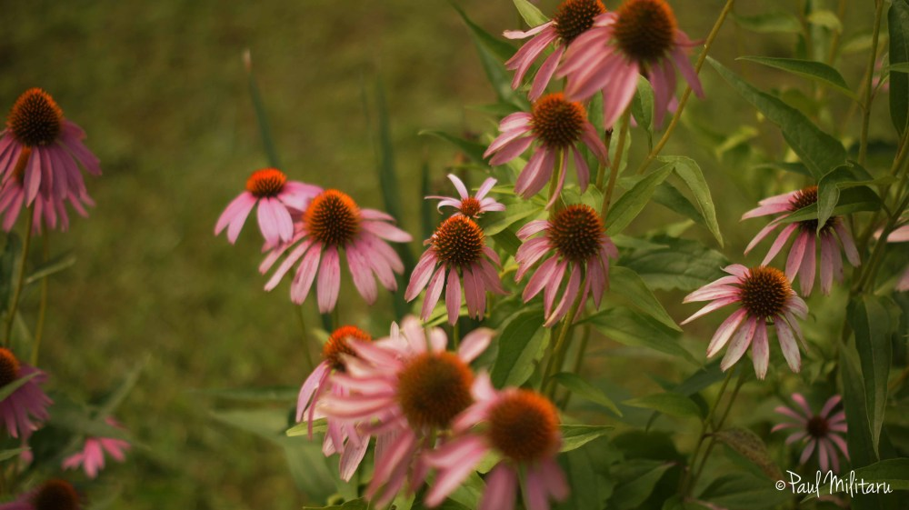 ornamental flowers - echinacea