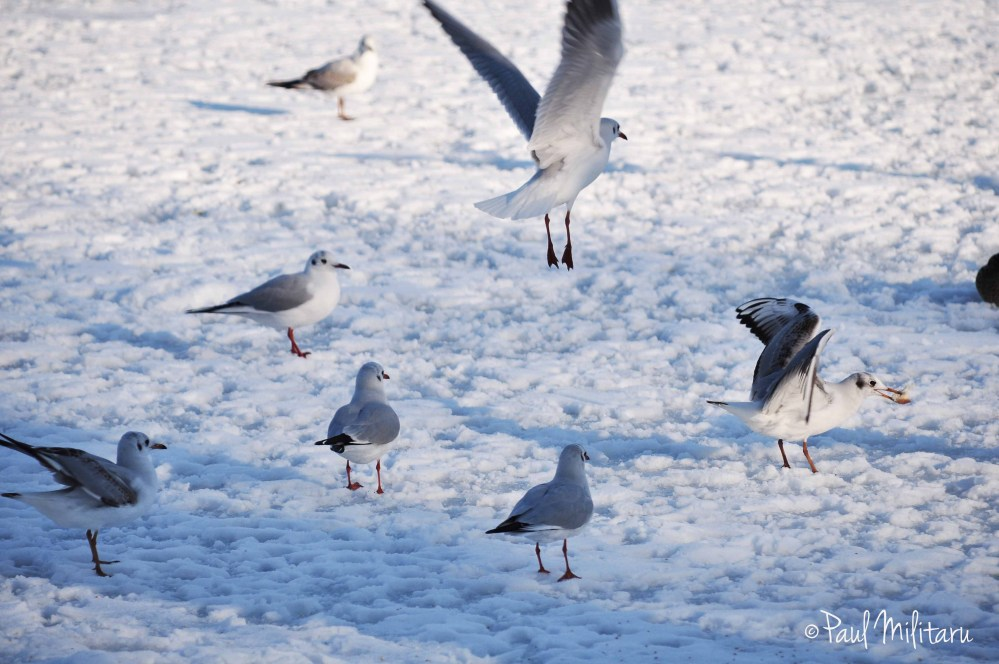 seagulls on ice