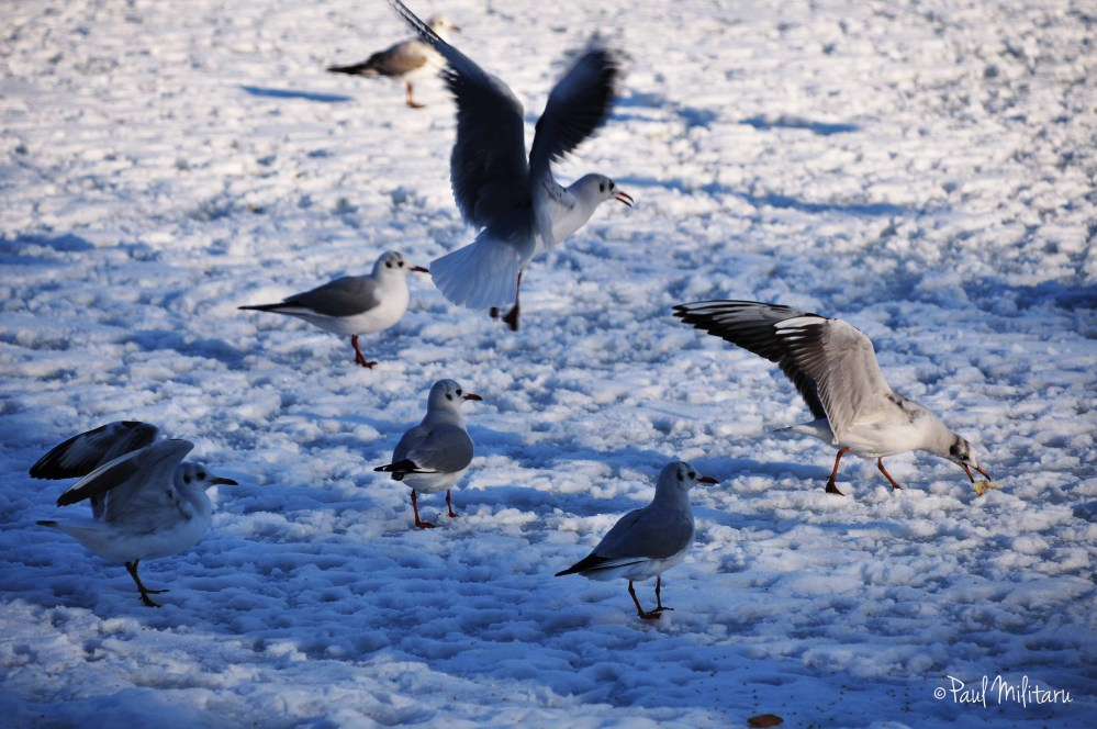 seagulls on snow