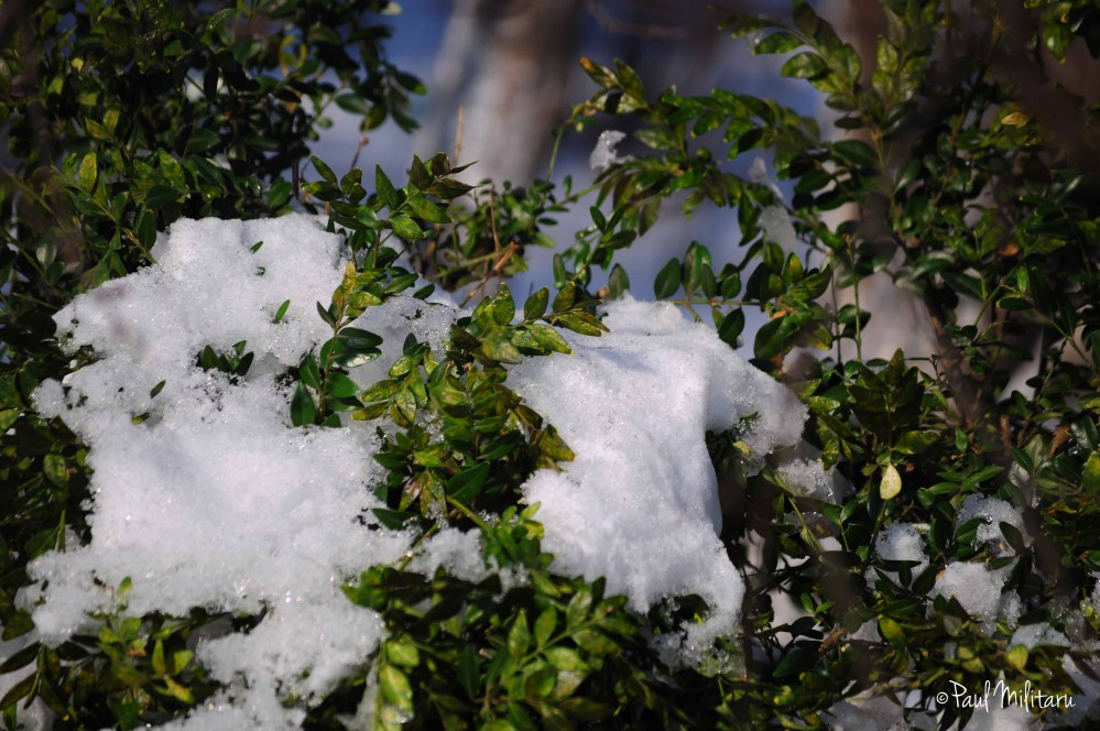 snow on the shrubs