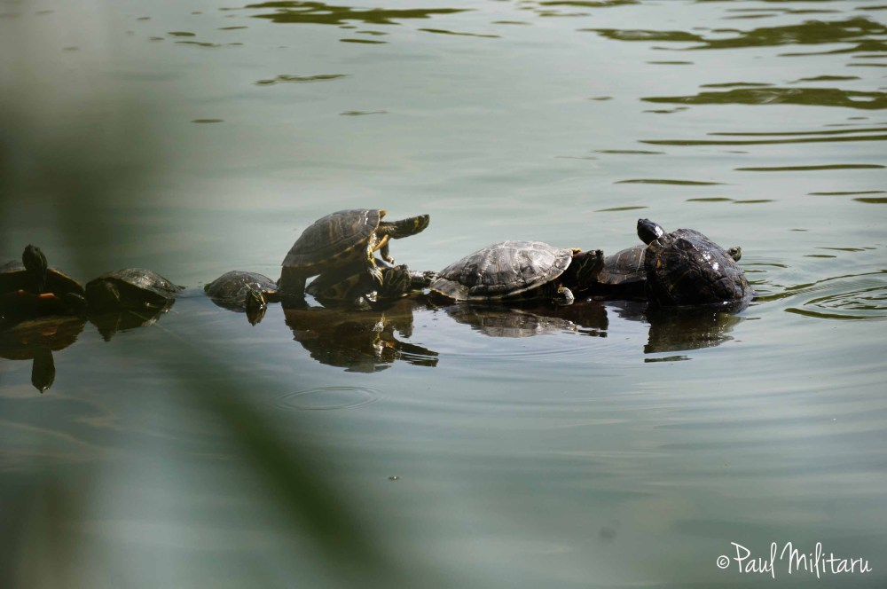 spying turtles
