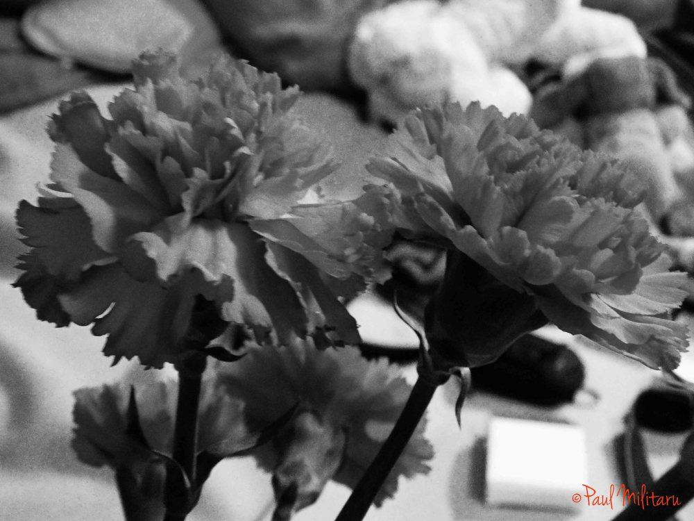 carnations...in black and white