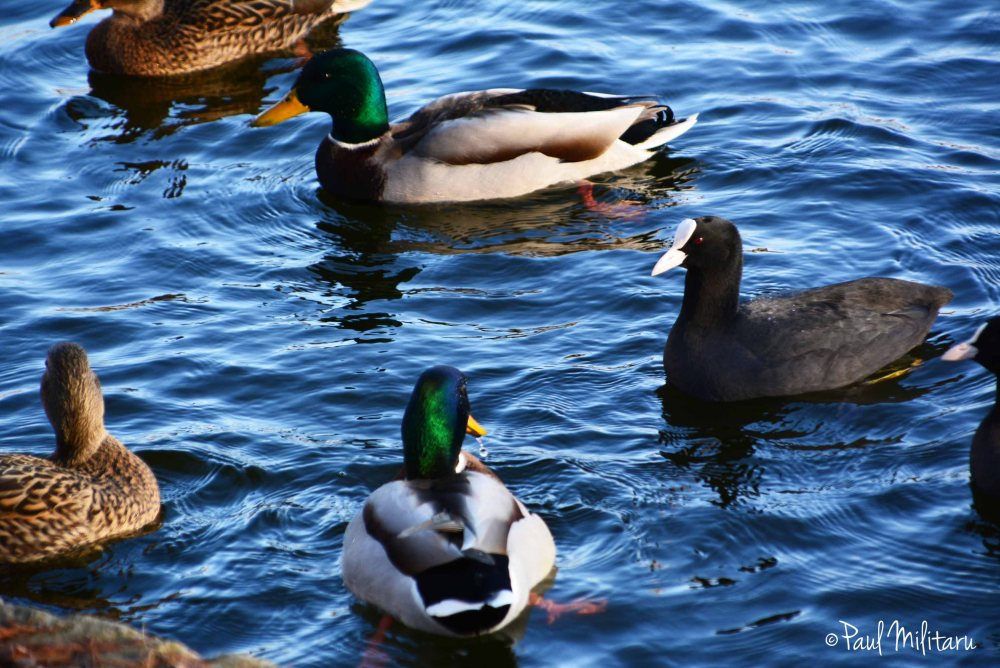 ducks and coots