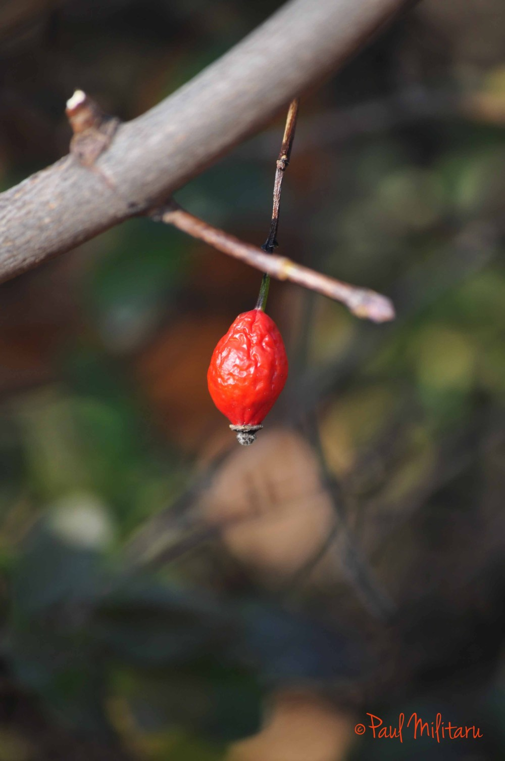 lonely shrunken rosehip