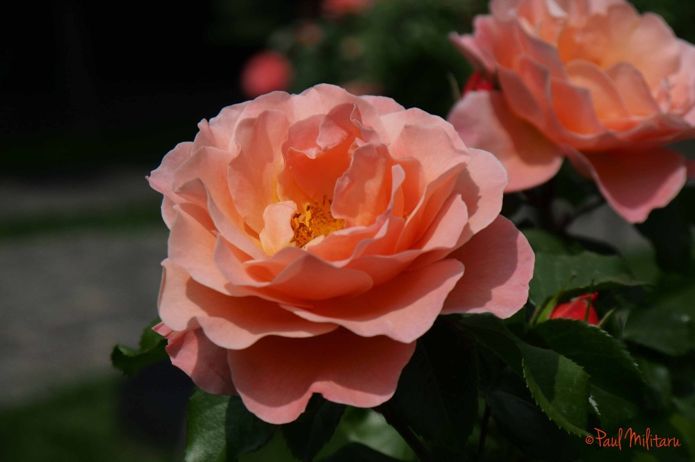 orange-pink roses for the beloved woman