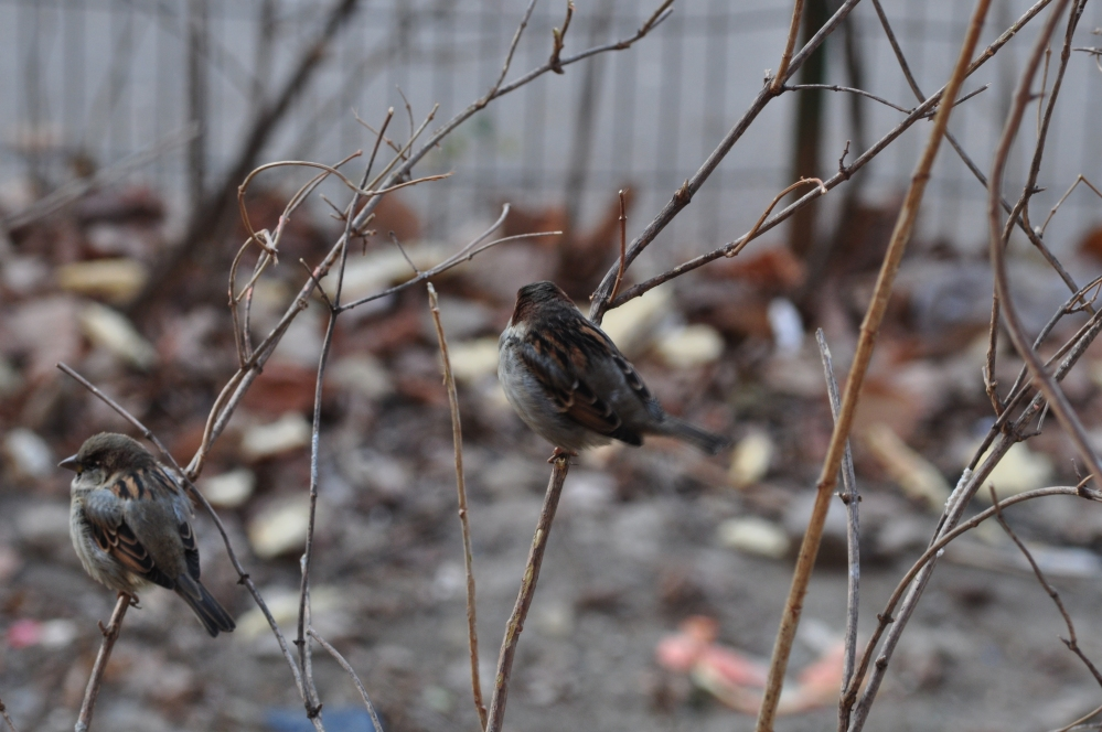 two sparrows shriveling of cold