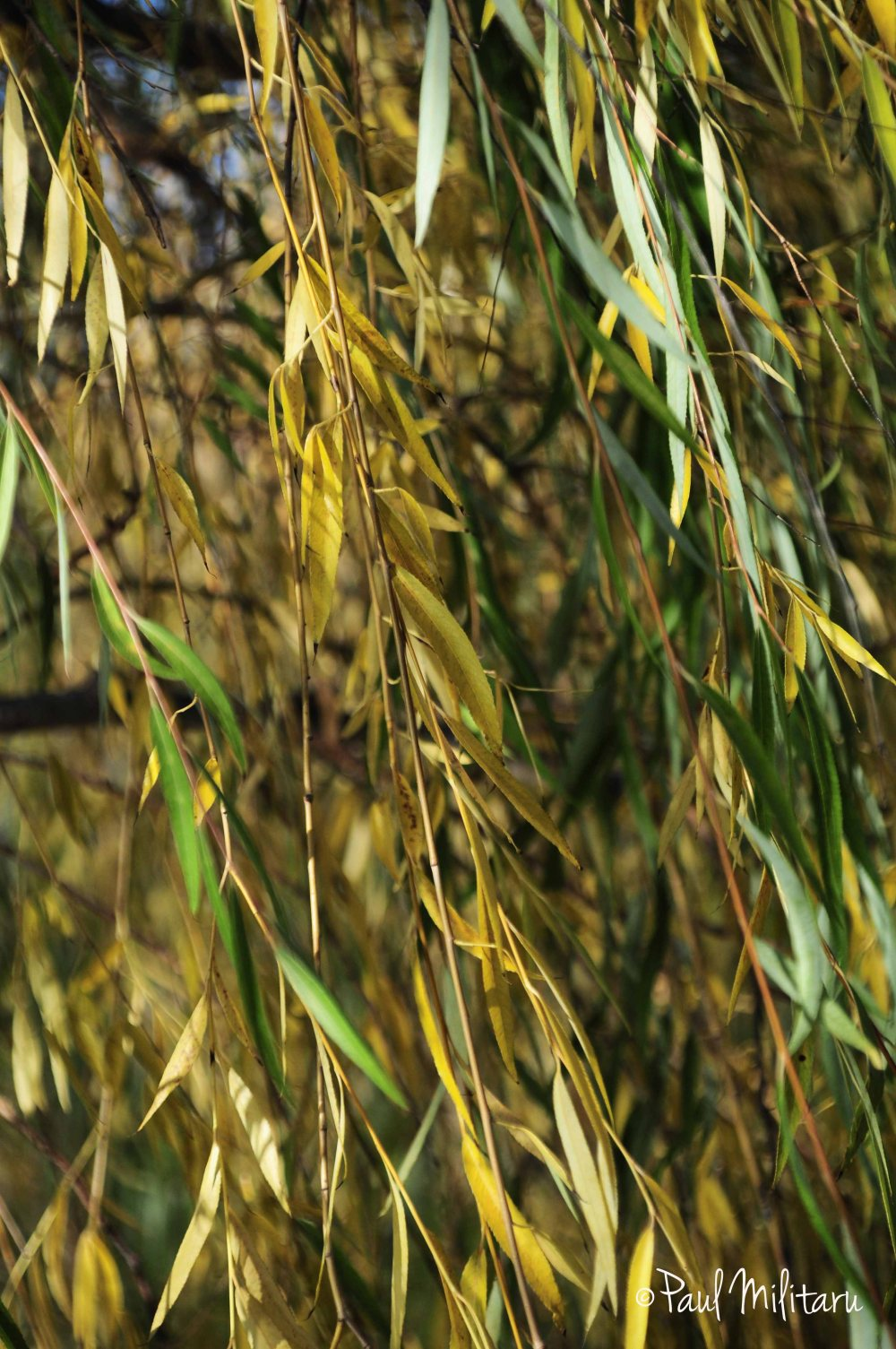 branches of willow in green and yellow