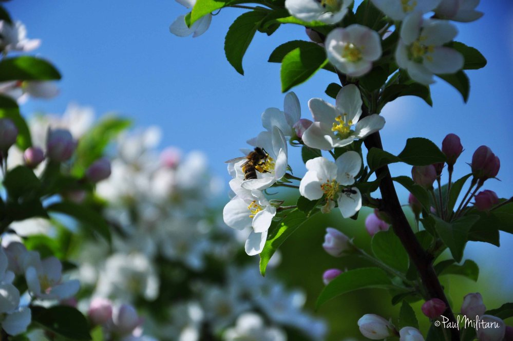white flowers and diligent bee