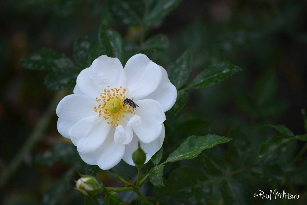 white wild rose and a fly