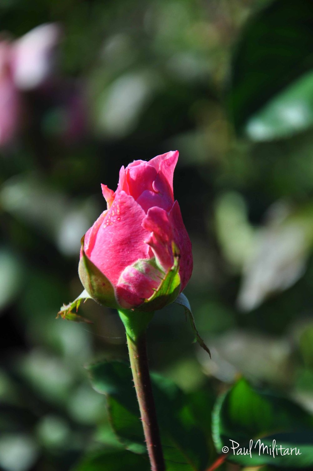 a beautiful rose for March 1st - first day of Spring