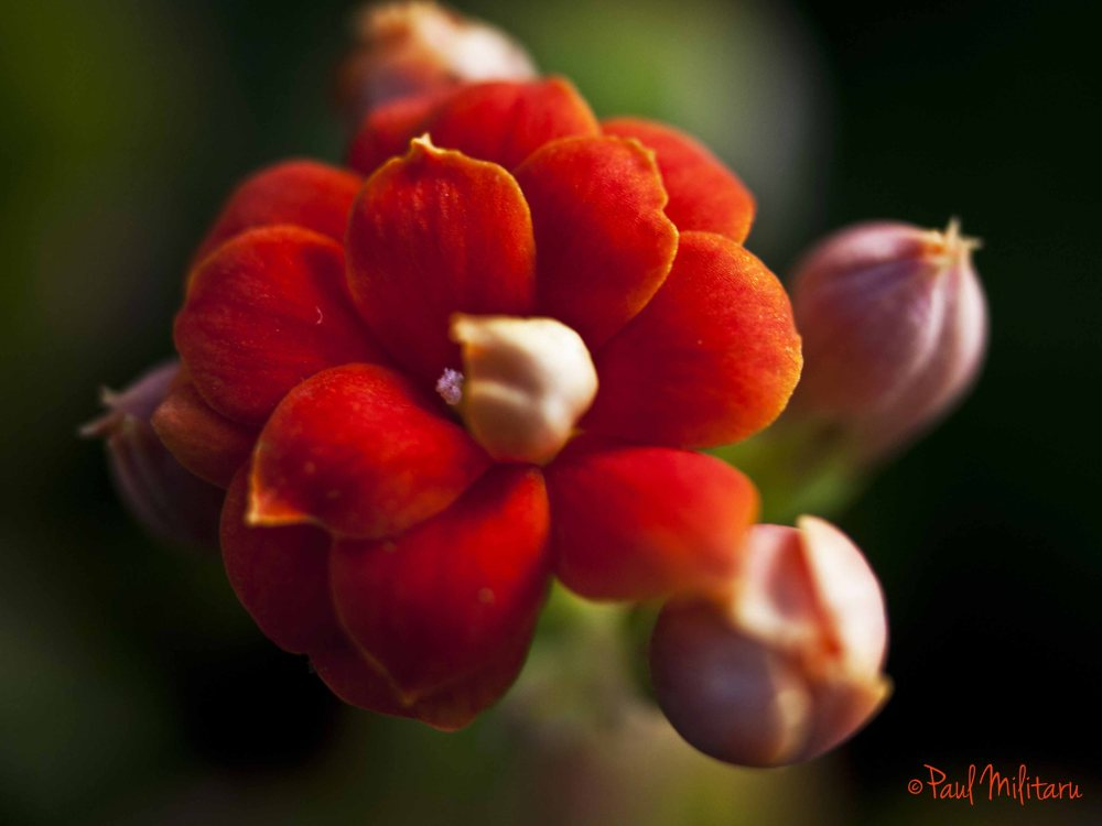 delicate red silk flower