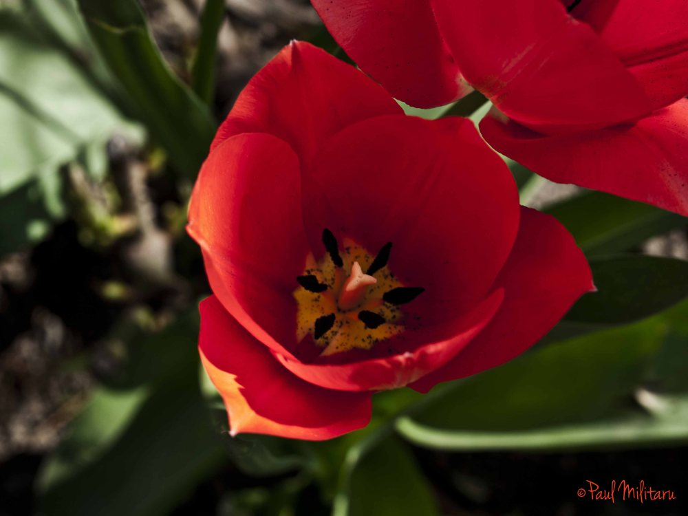 inside of a red tulip