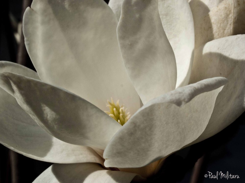 opened white magnolia