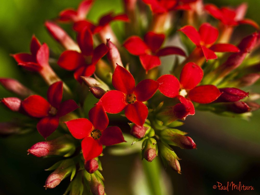 ornamental red flowers
