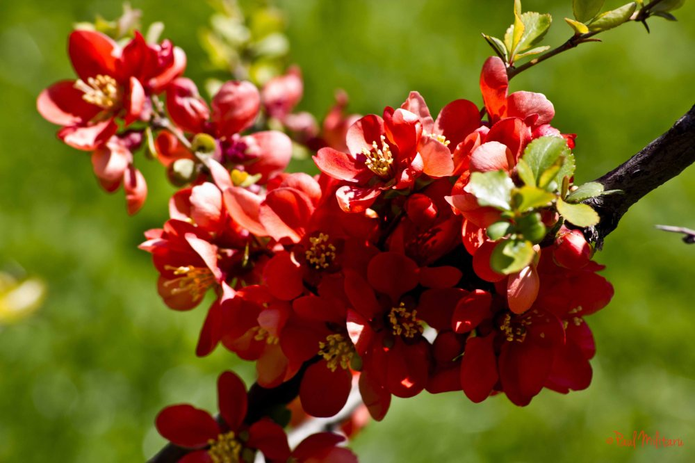 red tree flowers