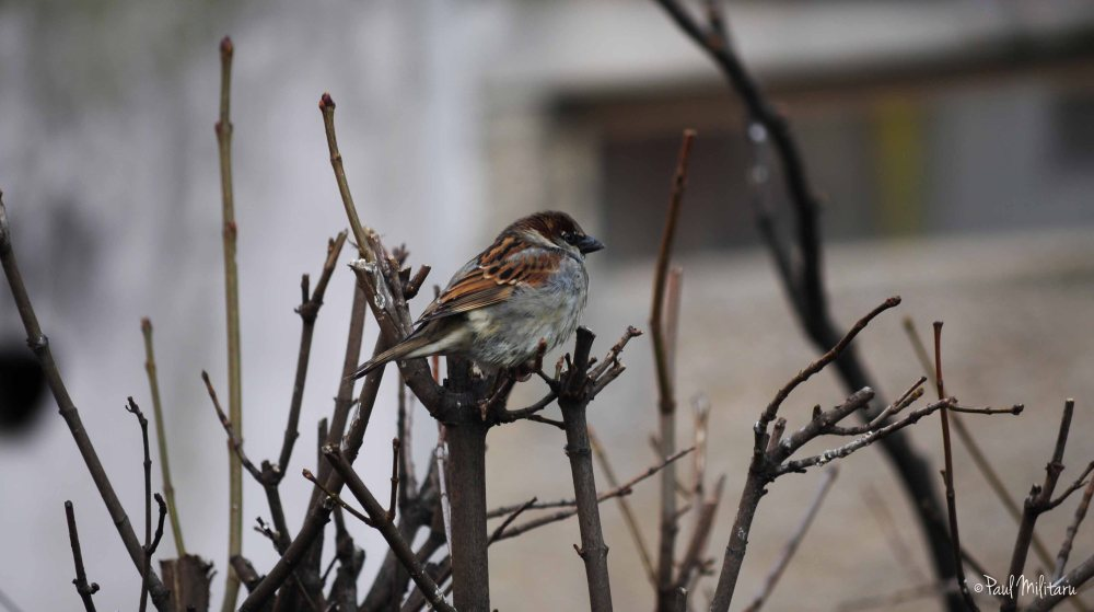 sparrow in waiting for better days