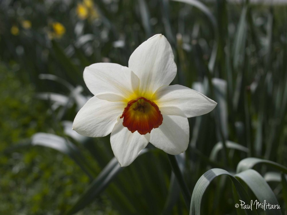the queen's crown of a white daffodil