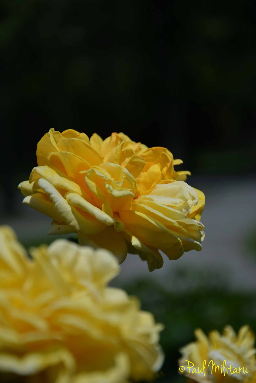 yellow roses