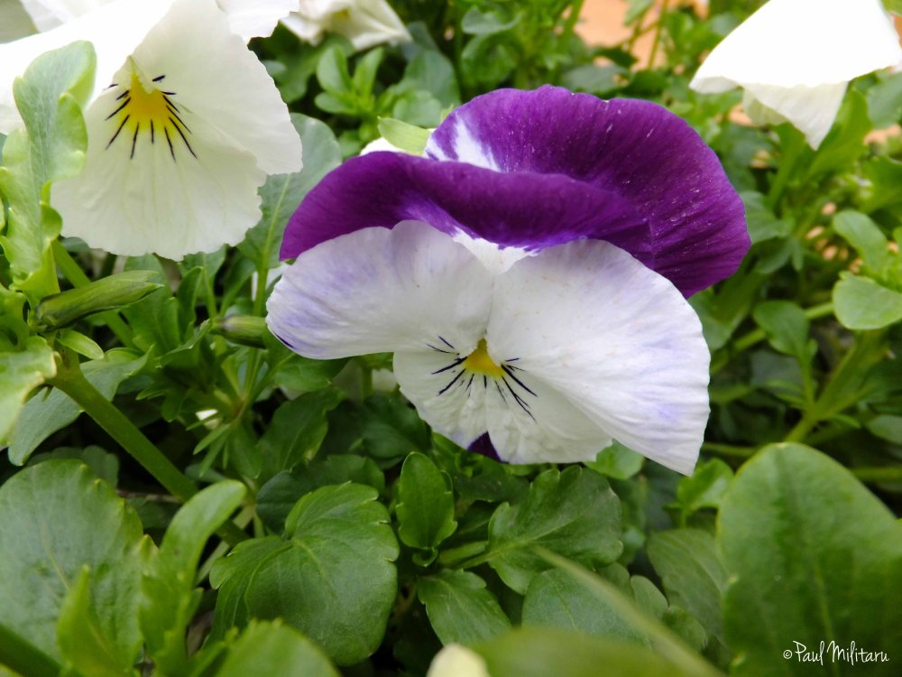 Pansy in purple & white